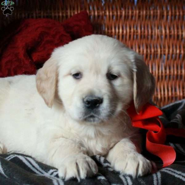 Nugget, Golden Retriever Puppy