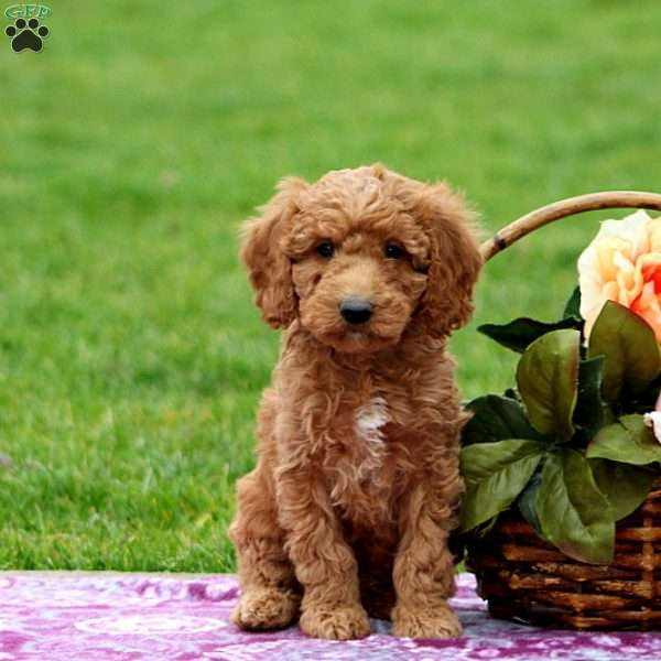 Oliver, Mini Goldendoodle Puppy
