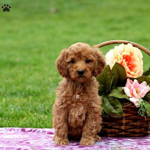 Oscar, Mini Goldendoodle Puppy
