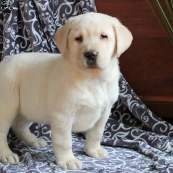 Paisley, Yellow Labrador Retriever Puppy