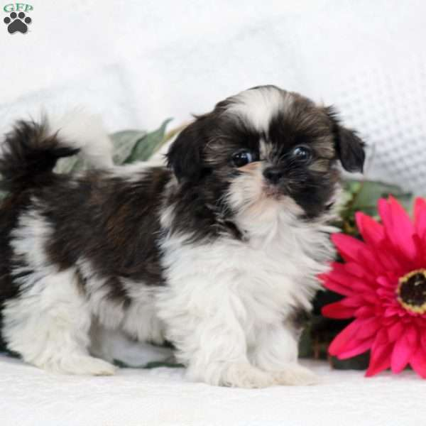Pansy Shih Tzu Puppy For Sale In Pennsylvania