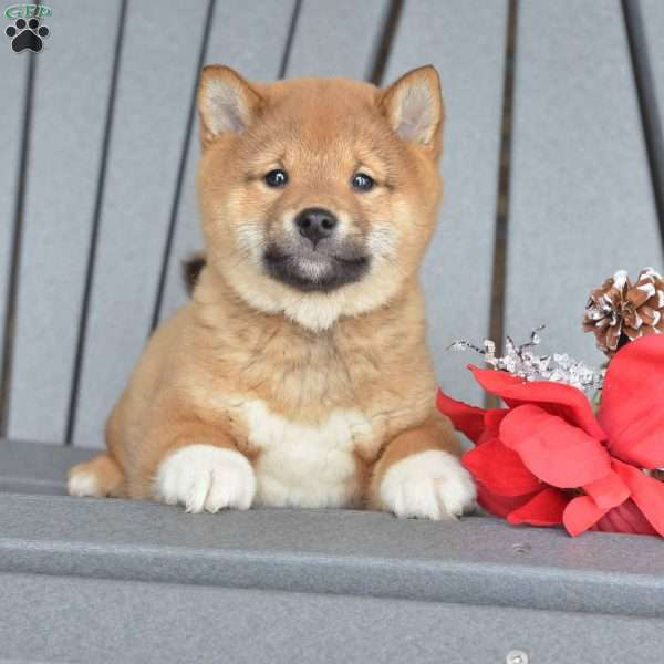 Patches Shiba Inu Puppy For Sale In Ohio