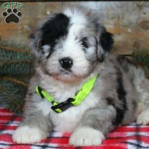 Patches, Bernedoodle Puppy