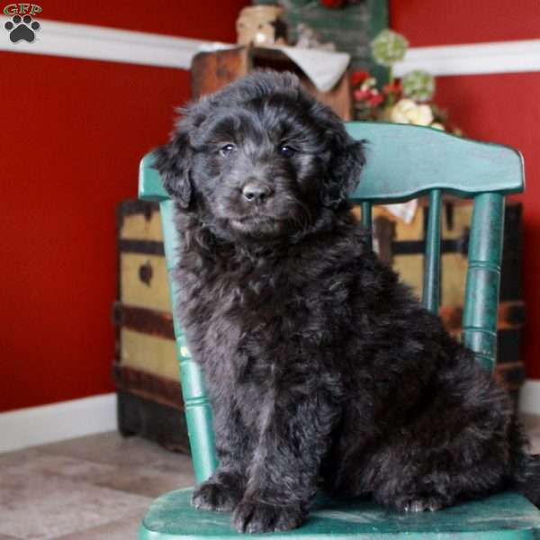 Patrick, Mini Goldendoodle Puppy