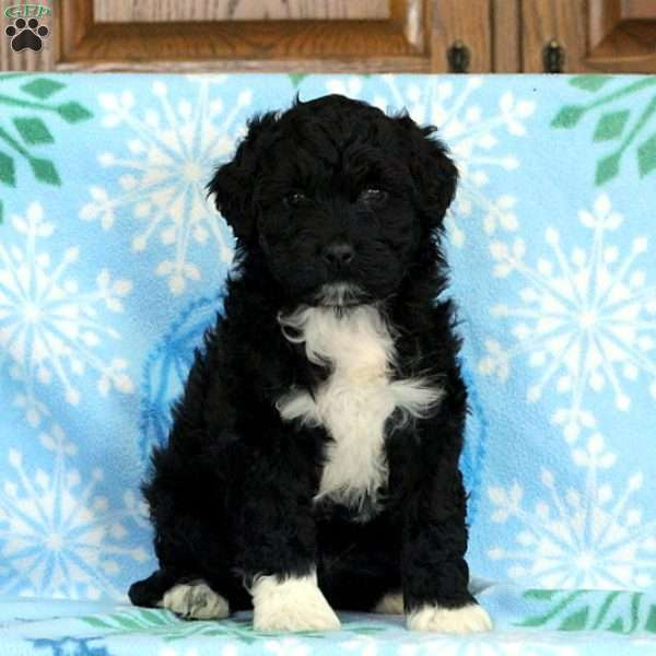 Paxton, Portuguese Water Dog Puppy