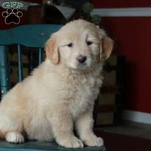 Penny, Mini Goldendoodle Puppy