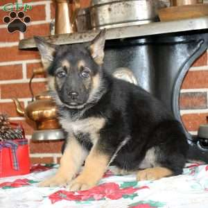 Persephone, German Shepherd Puppy
