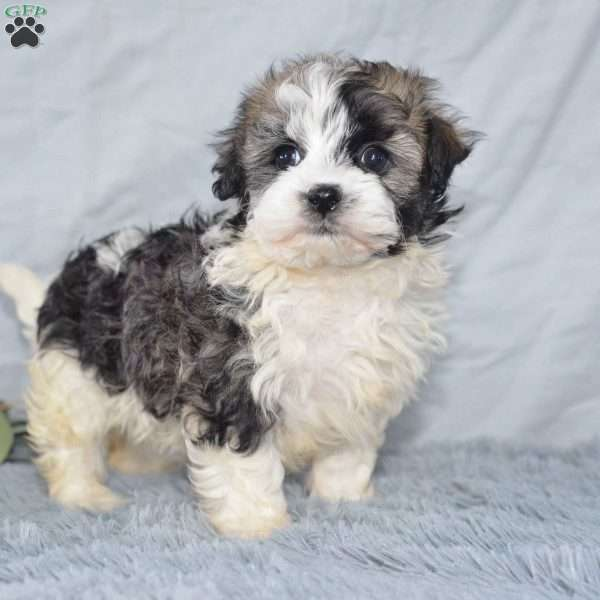 Petal Havanese Puppy For Sale In Ohio
