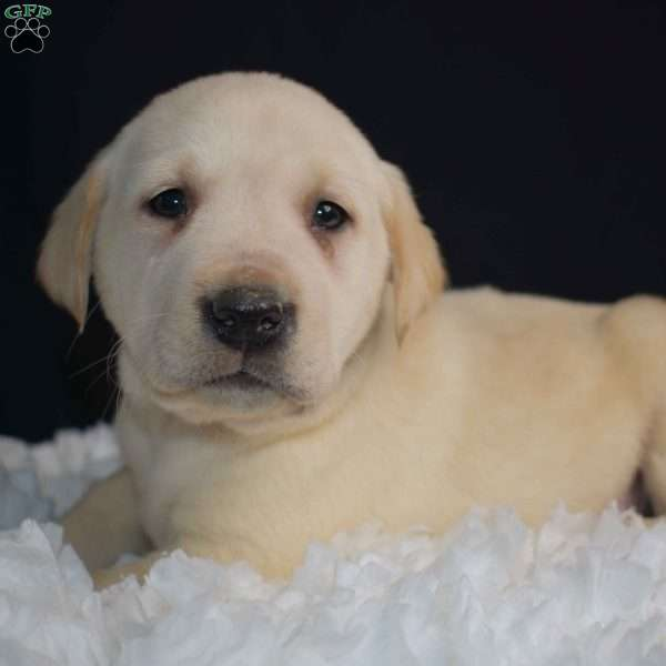 Pilot, Yellow Labrador Retriever Puppy