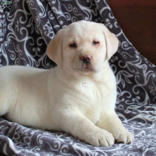 Polly, Yellow Labrador Retriever Puppy