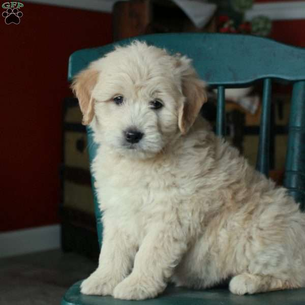 Polly, Mini Goldendoodle Puppy