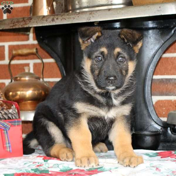 Poseidon, German Shepherd Puppy
