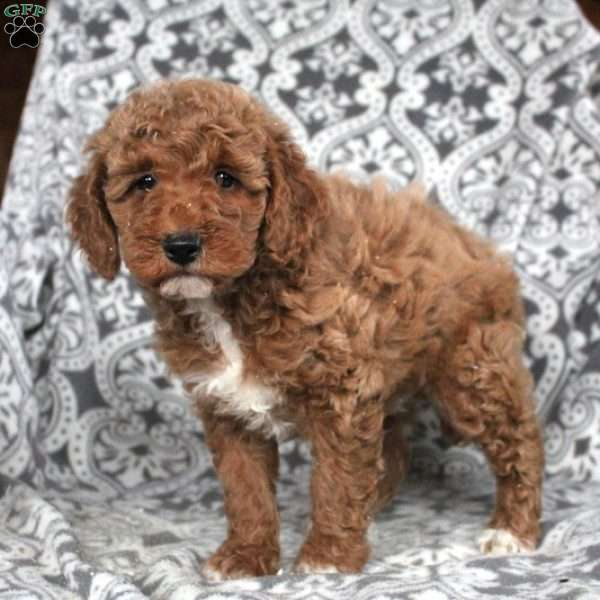 Preston, Mini Goldendoodle Puppy