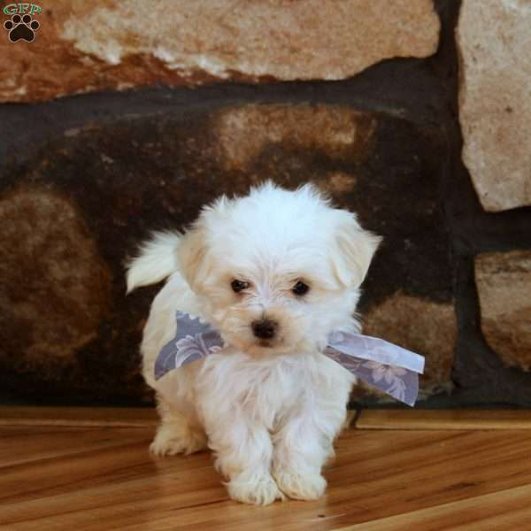 Quebec, Maltese Puppy