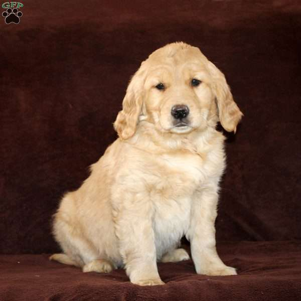 Reba, Golden Retriever Puppy
