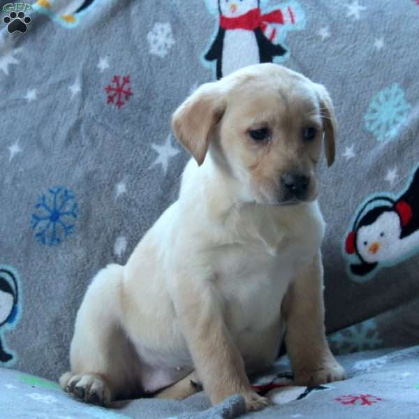 Rez, Yellow Labrador Retriever Puppy