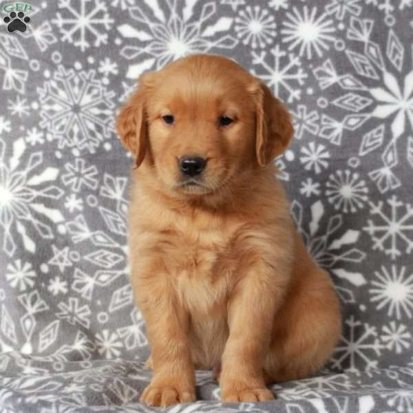 Rover, Golden Retriever Puppy