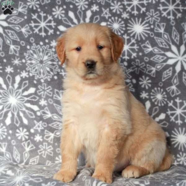 Roxie, Golden Retriever Puppy