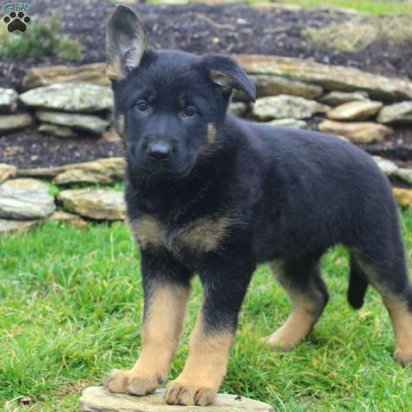 Roxy, German Shepherd Puppy