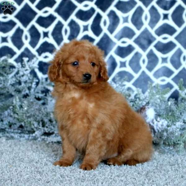Ruby, Mini Goldendoodle Puppy