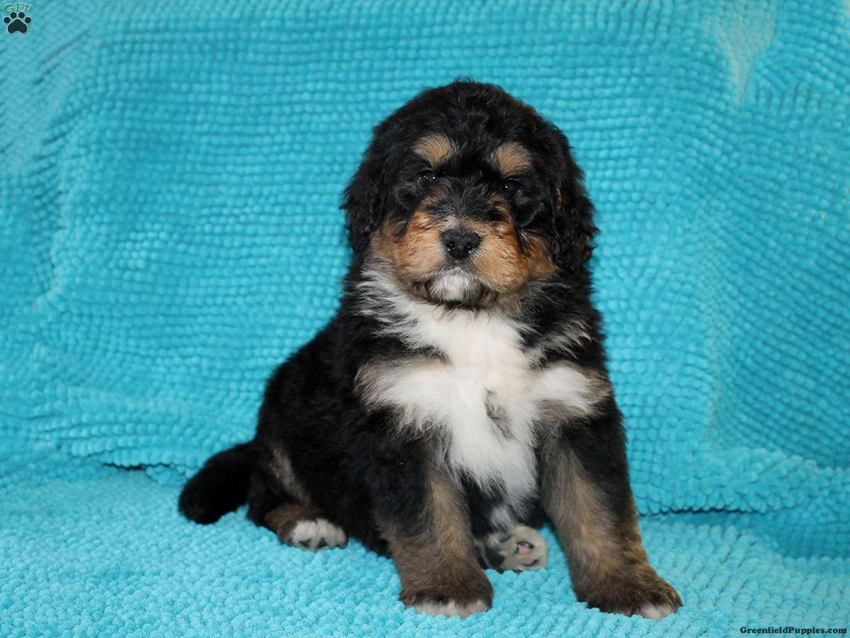 Sailor Bernedoodle Puppy For Sale In Pennsylvania