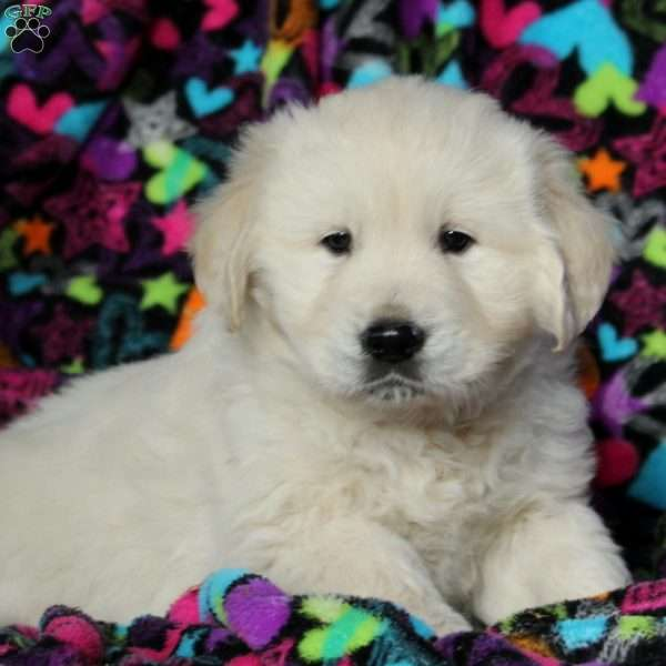 Salem, English Cream Golden Retriever Puppy
