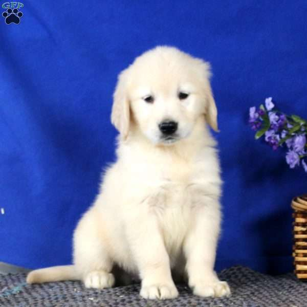 Sara, Golden Retriever Puppy