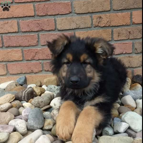Theo, German Shepherd Puppy