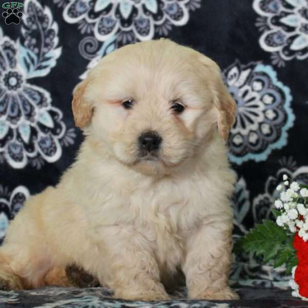 Shawn, Mini Goldendoodle Puppy