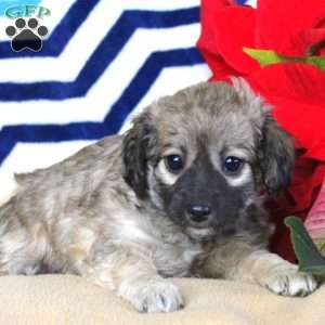 Havanese Mix Puppies For Sale Havanese Mix Greenfield Puppies