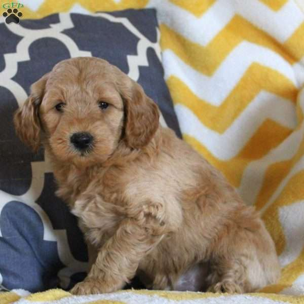 Teddy, Mini Goldendoodle Puppy