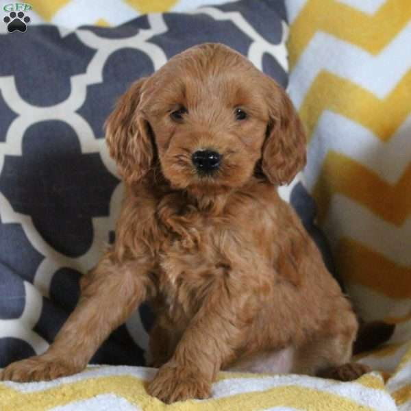 Tiger, Mini Goldendoodle Puppy