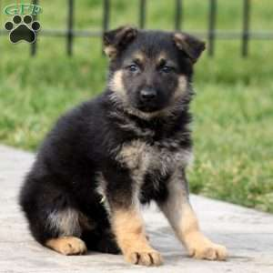 Tilly, German Shepherd Puppy