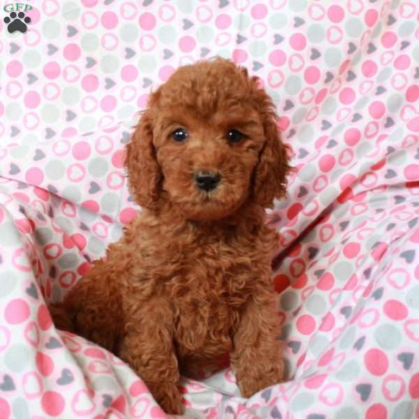 Tinker, Mini Goldendoodle Puppy