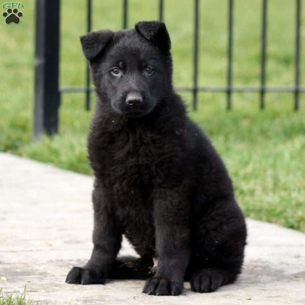 Tioga, German Shepherd Puppy