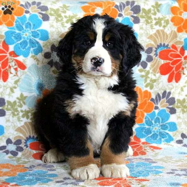 Toby Bernese Mountain Dog Puppy For Sale In Pennsylvania
