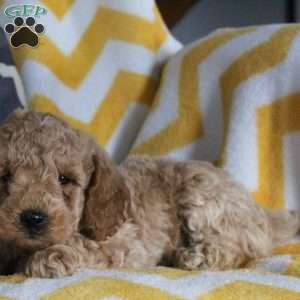 Toby, Mini Goldendoodle Puppy