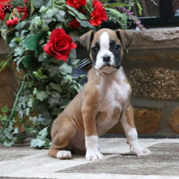 Toby, Boxer Puppy