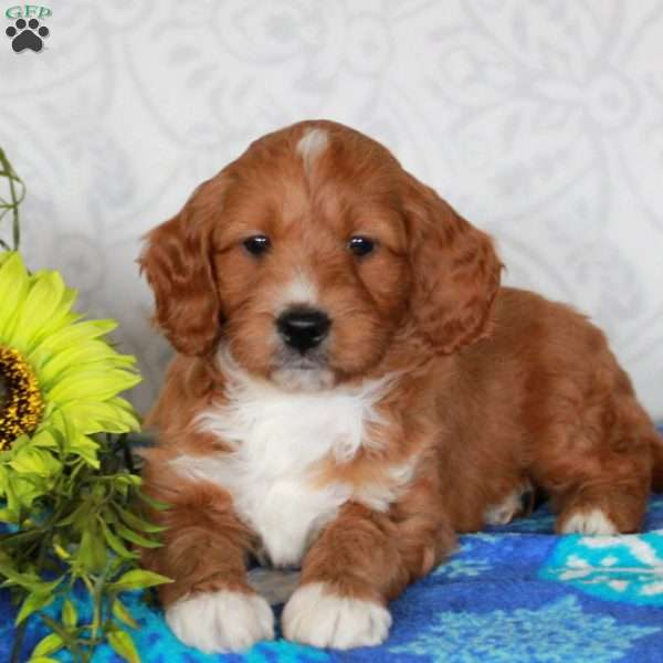 Toffee – F1B, Mini Goldendoodle Puppy