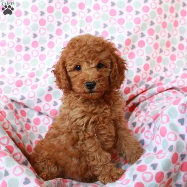 Tootsie, Mini Goldendoodle Puppy