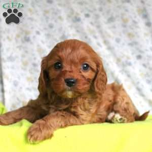 Cavapoo Puppies For Sale Cavapoo Dog Breed Info Greenfield Puppies