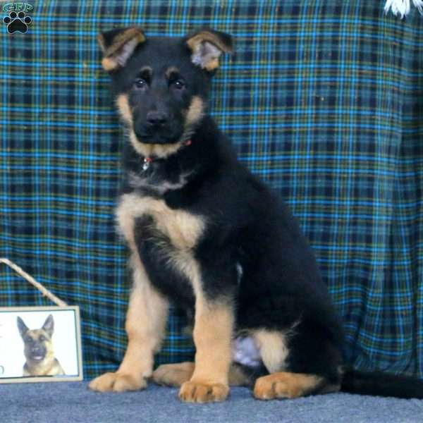 Trooper, German Shepherd Puppy