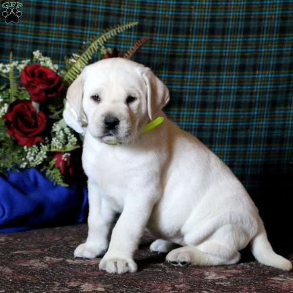 Vanilla, Yellow Labrador Retriever Puppy