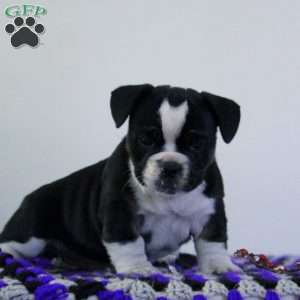French Bulldog Mix Puppies For Sale Greenfield Puppies