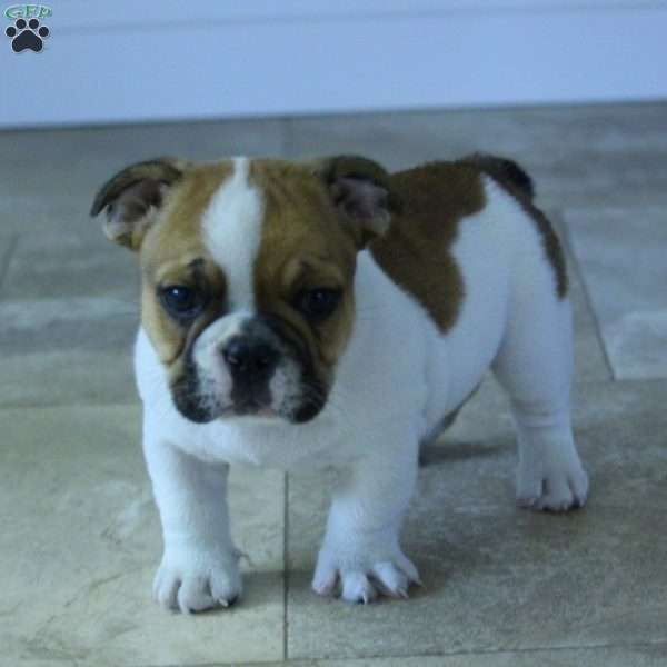 Virgo French Bulldog Mix Puppy For Sale In Pennsylvania