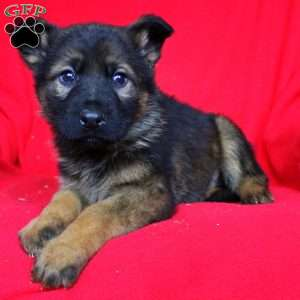 Weston, German Shepherd Puppy
