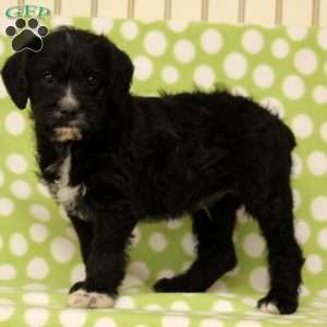 Whiskers, Standard Poodle Mix Puppy