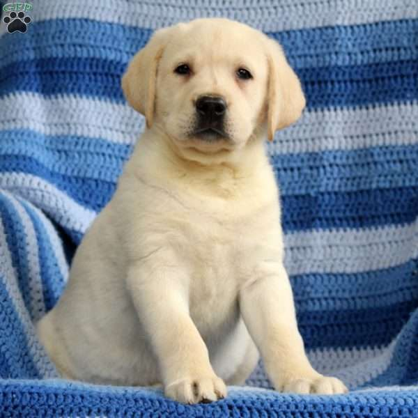 Wonka, Yellow Labrador Retriever Puppy