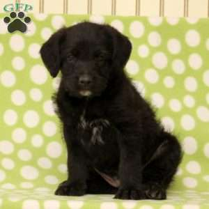 Woody, Standard Poodle Mix Puppy