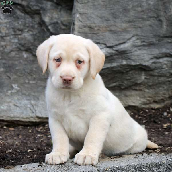 Wynonna, Yellow Labrador Retriever Puppy